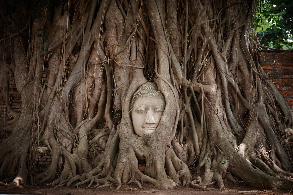 Buda head protruding from tree roots at old ruins in Ayutthaya